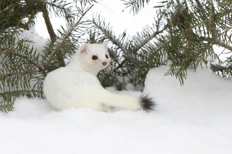 belette Court-coupée la queue dans les branches et la neige de sapin photographie stock