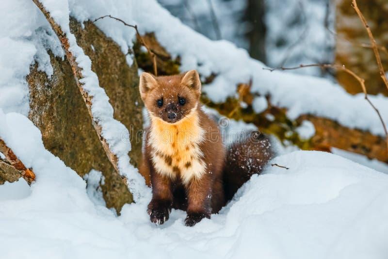 Belette simple se reposant au champ de neige images stock