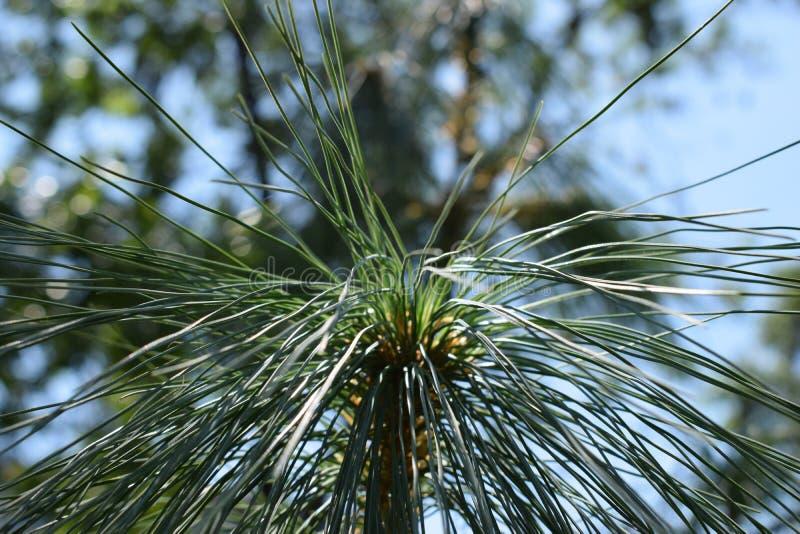 Beleuchten Sie den Kiefernspitzenbaum lizenzfreie stockbilder