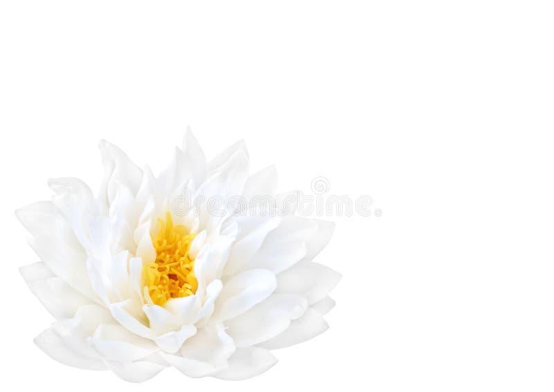 Beleza branca dos lótus fotografia de stock