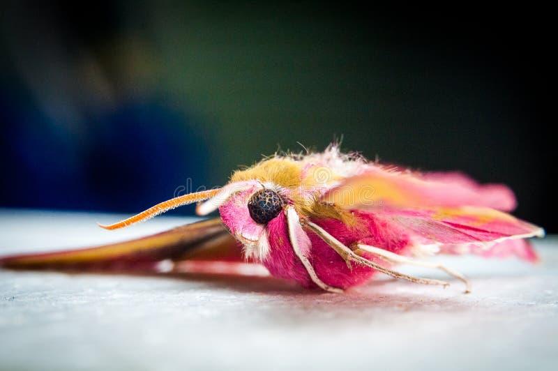 Beleza brilhante da cor da borboleta tropical foto de stock royalty free