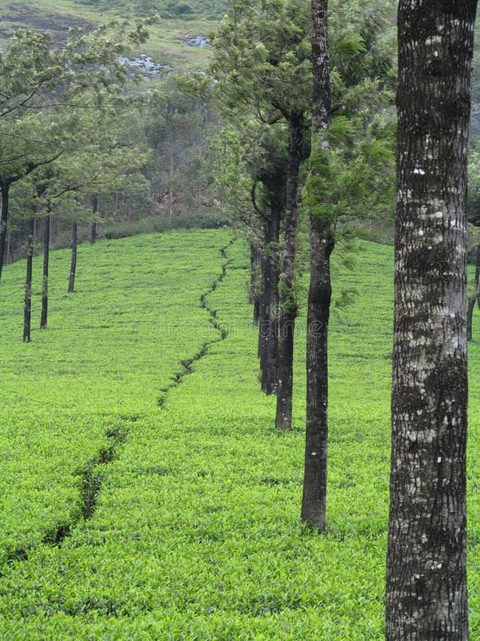 Beleza cênico, plantas de chá fotografia de stock