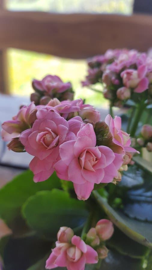 Beleza cor-de-rosa imagem de stock