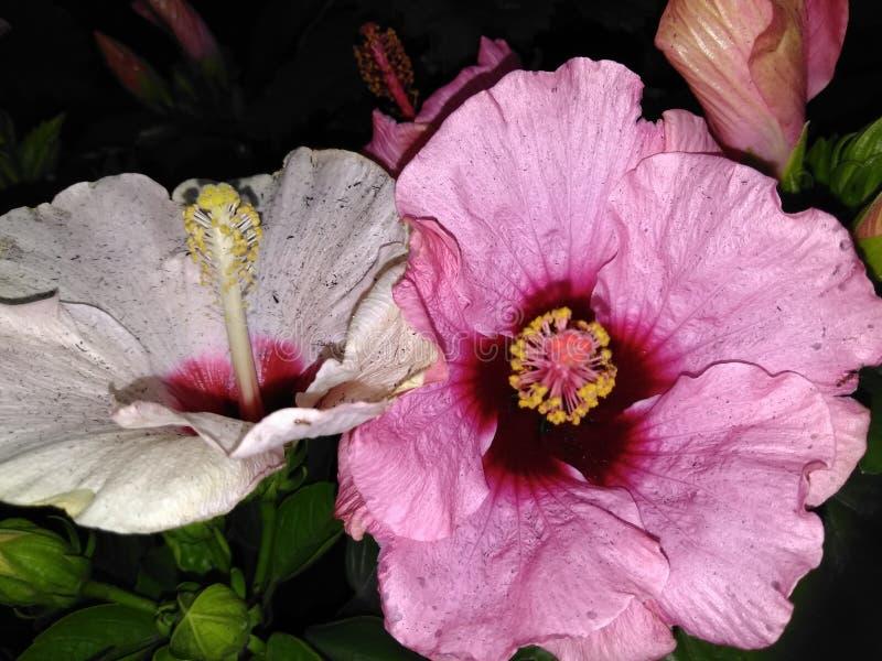 Beleza cor-de-rosa bonita dos lillies do dia imagem de stock royalty free