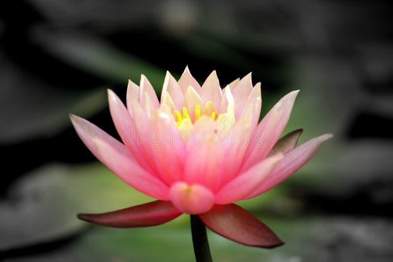 A beleza da flor é exposta após a sua floração & x27;s fotos de stock royalty free