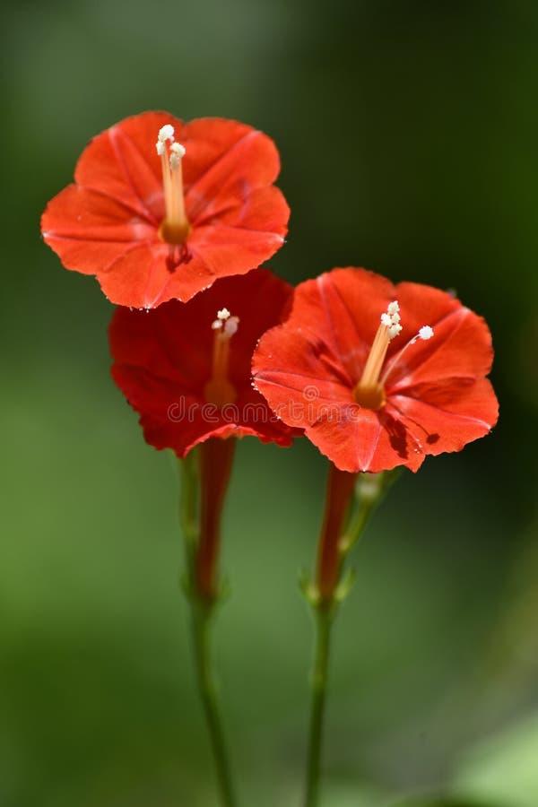 A beleza da Nature & x27;s é simples e bonita como estas três grandes flores vermelhas imagens de stock
