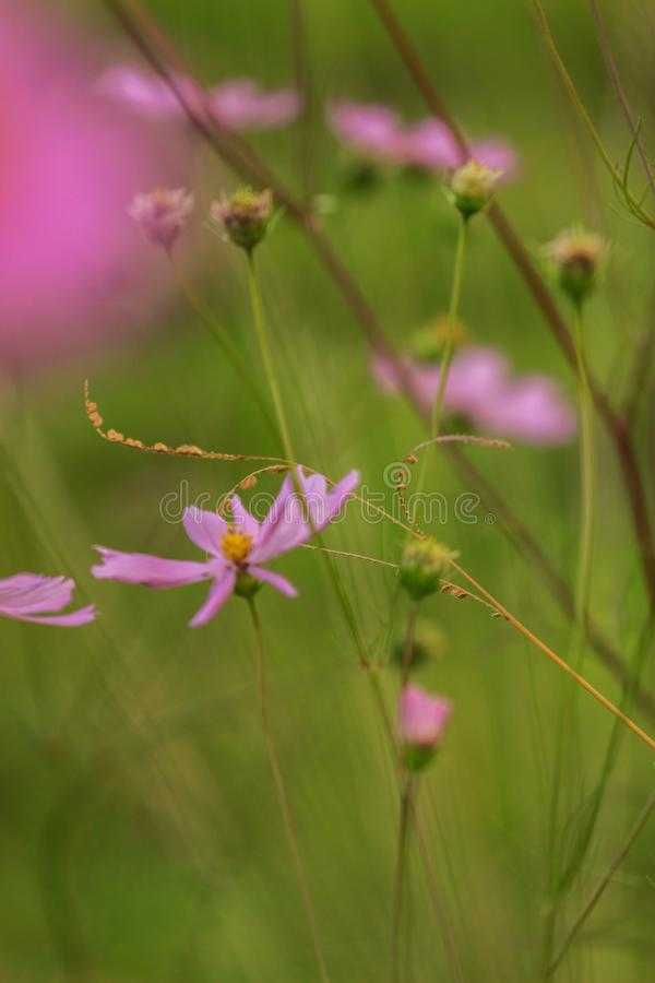 Beleza da natureza - botões e hastes frágeis da planta do cosmos em um jardim fotos de stock royalty free