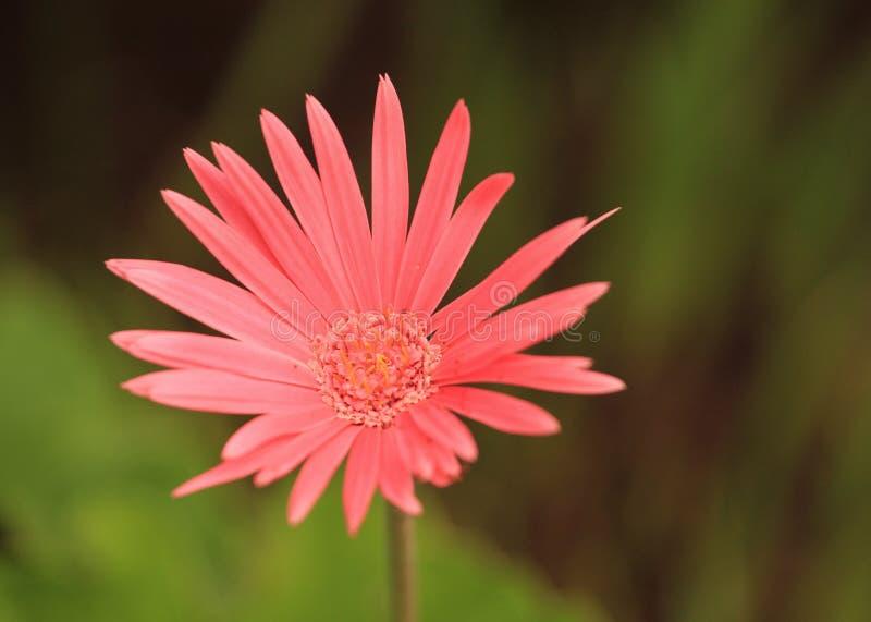 Beleza da natureza - flor do Gerbera em um jardim botânico foto de stock royalty free