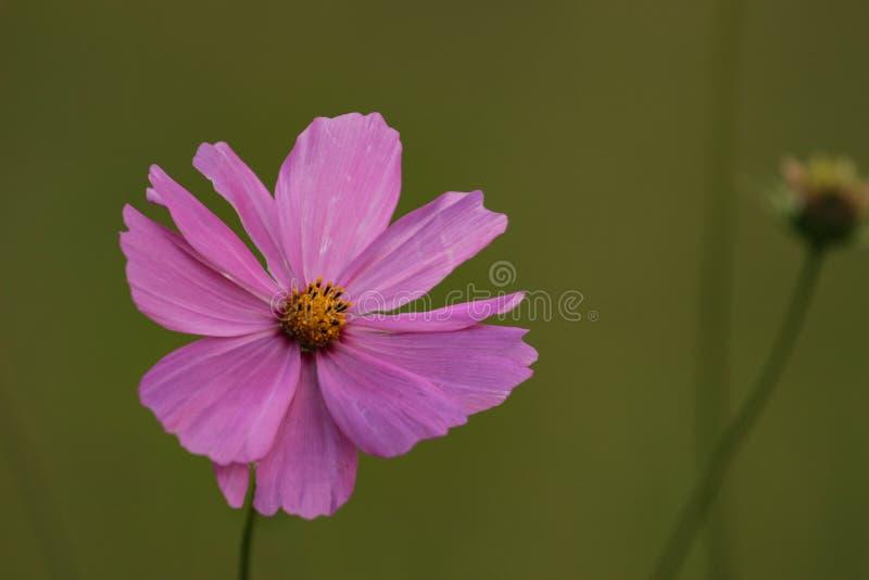Beleza da natureza - flor frágil de uma planta do cosmos em um jardim imagem de stock