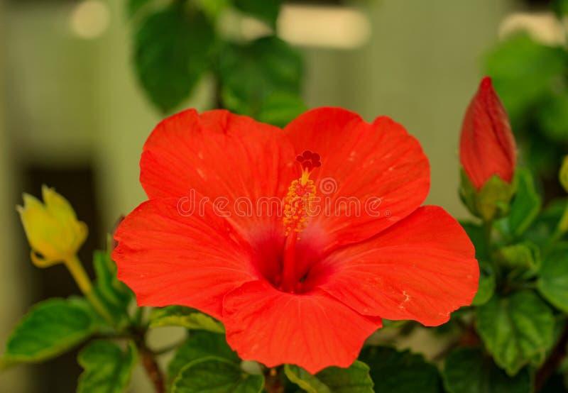 Beleza da natureza - flor vermelha grande do hibiscus imagem de stock royalty free
