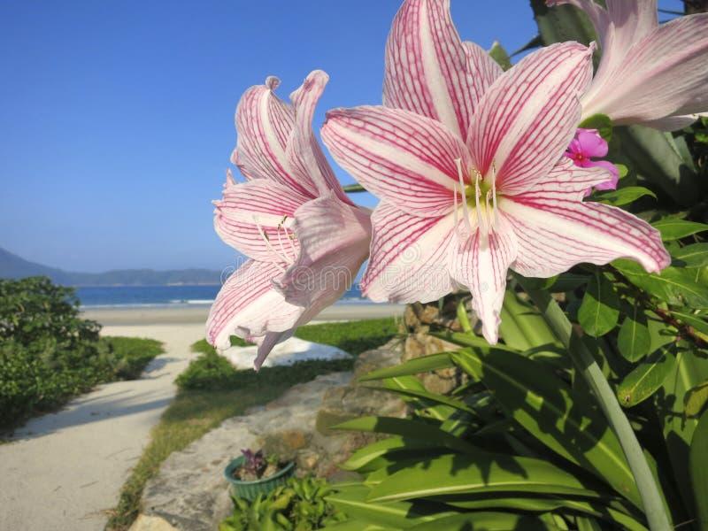 Beleza da praia da flor: As flores brancas e cor-de-rosa fecham-se acima na paisagem da praia fotografia de stock royalty free