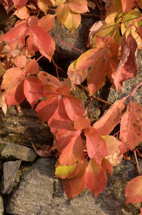 Download A Beleza Das Folhas No Outono E Na Pedra Foto de Stock - Imagem de limpo, beira: 80102812