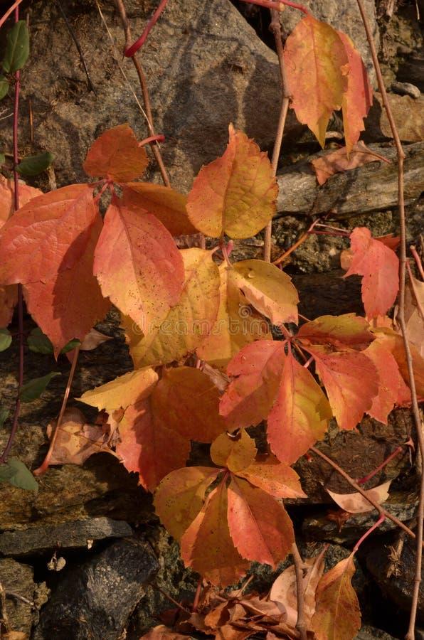 Download A Beleza Das Folhas No Outono E Na Pedra Imagem de Stock - Imagem de desvaneça, backdrop: 80103123