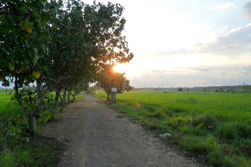 a beleza de campos do arroz na tarde foto de stock