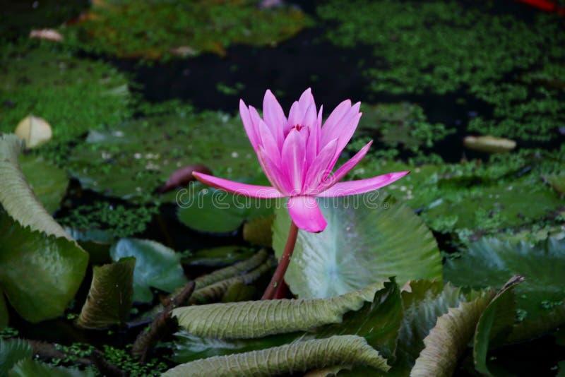 a beleza de flores de l?tus em uma manh? ensolarada, em um c?rrego da ?gua em Banjarmasin, Kalimantan sul Indon?sia foto de stock