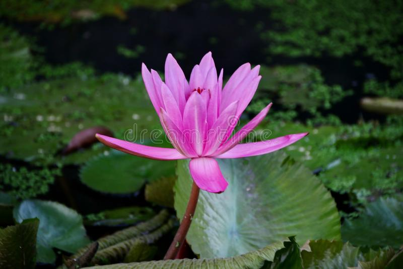 a beleza de flores de l?tus em uma manh? ensolarada, em um c?rrego da ?gua em Banjarmasin, Kalimantan sul Indon?sia fotografia de stock royalty free