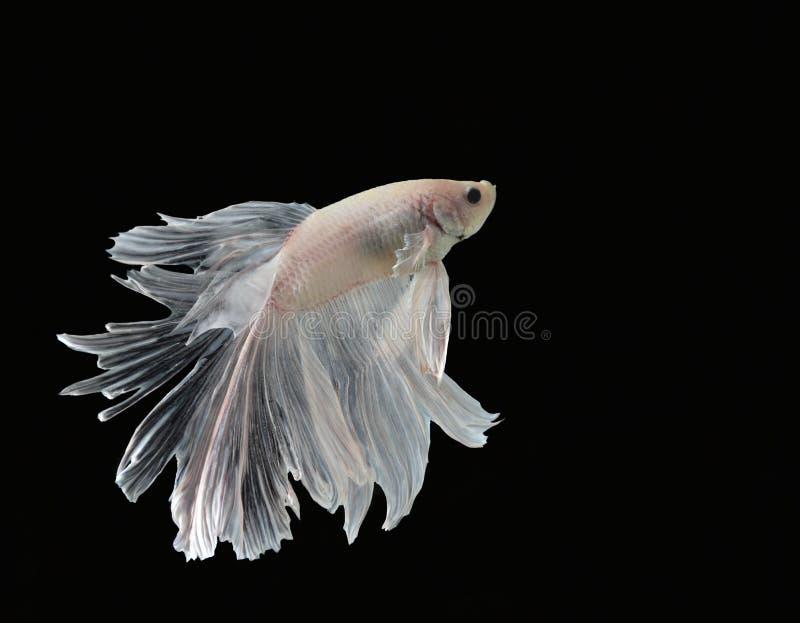 A beleza de peixes Siamese no aquário com fundo preto imagens de stock