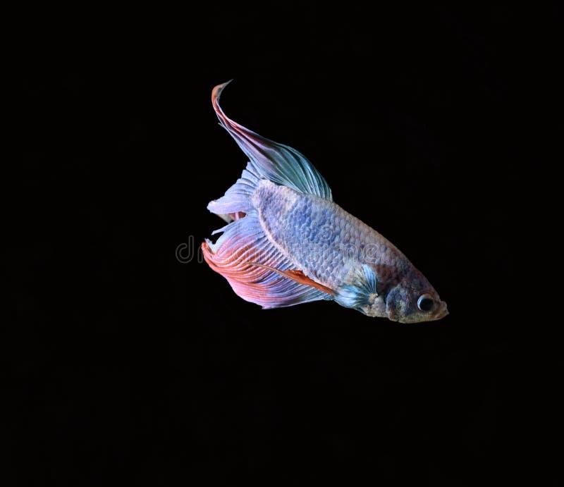 A beleza de peixes Siamese no aquário com fundo preto fotos de stock