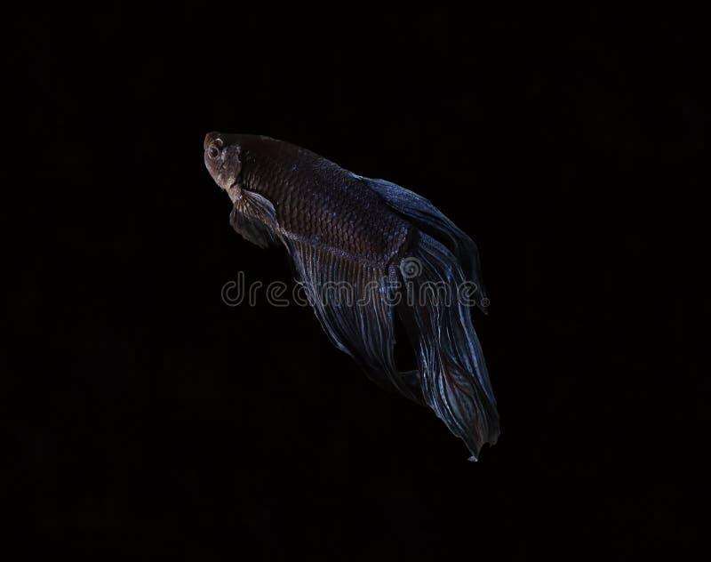 A beleza de peixes Siamese no aquário com fundo preto fotografia de stock royalty free