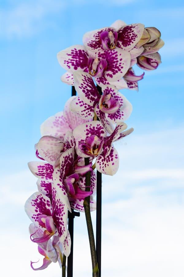 A beleza de uma orqu?dea branca e roxa na flor completa Flor da orquídea do Phalaenopsis em um fundo do céu azul imagens de stock