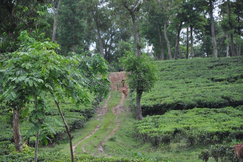 Beleza do jardim de chá fotografia de stock royalty free