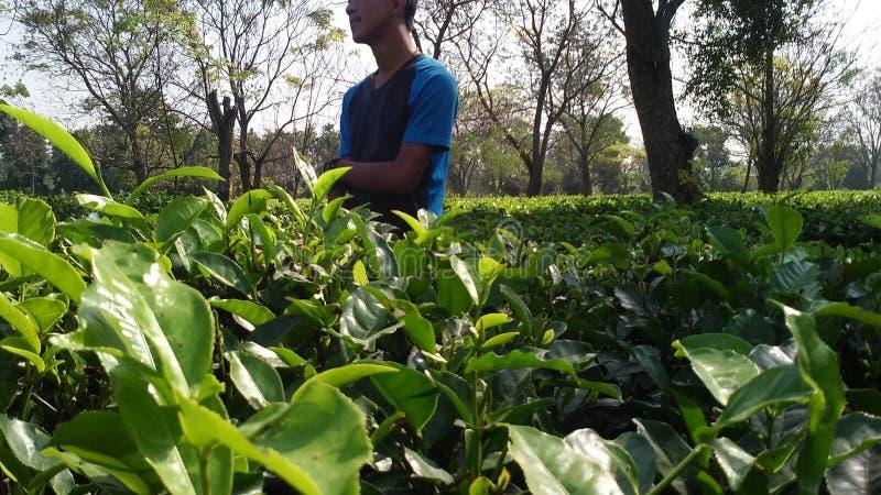 Beleza do jardim de chá, beleza das folhas de chá, natureza foto de stock royalty free