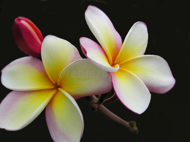Beleza do Plumeria foto de stock royalty free