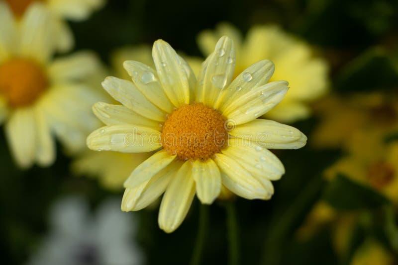 Beleza Marguerite Daisy amarela fotografia de stock