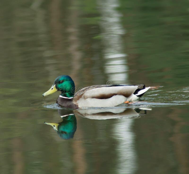 Beleza masculina do pato do pato selvagem na água fotos de stock royalty free