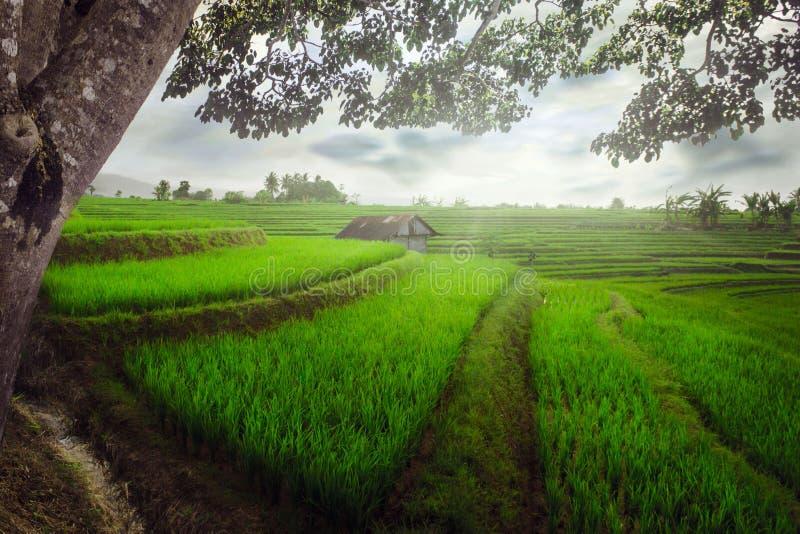 Beleza natural indonésia com uma vista de campos verdes do arroz assim como de uma cabana das árvores com composições bonitas imagens de stock royalty free