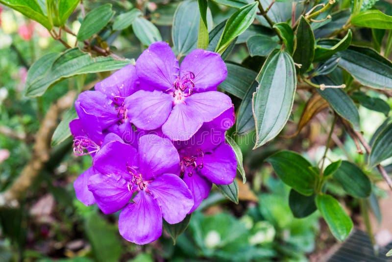 Beleza roxa da orquídea na árvore fotografia de stock royalty free