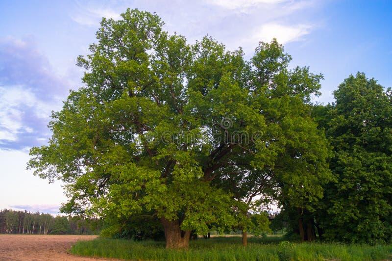 Beleza tranquilo de uma noite do verão no campo desolado Um carvalho ramificado velho com a cavidade profunda em seu tronco e a l imagens de stock royalty free
