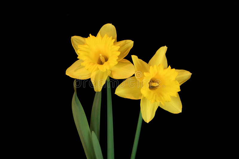 Belezas do Daffodil fotografia de stock royalty free
