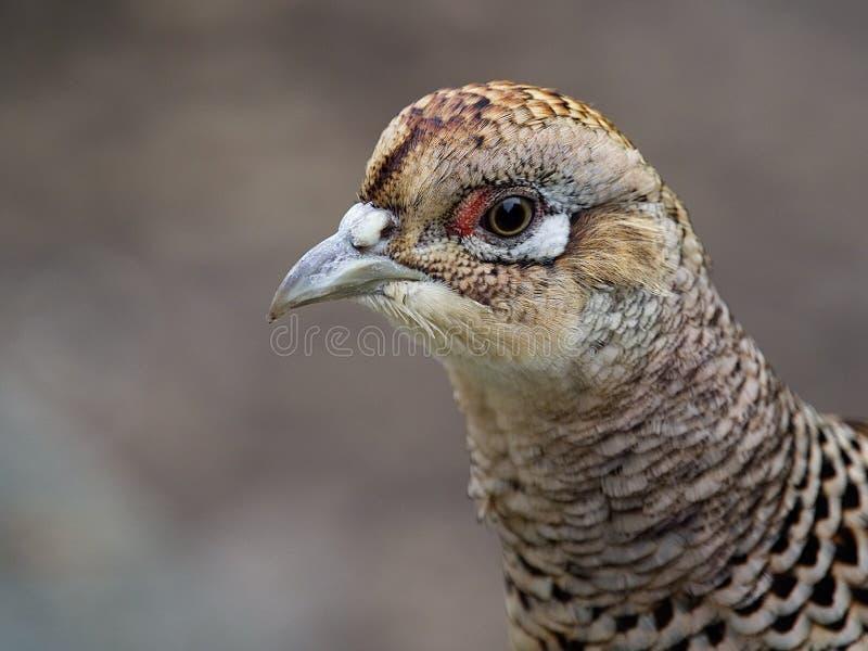 Belfer, Galliformes, ptak, zakończenie W górę