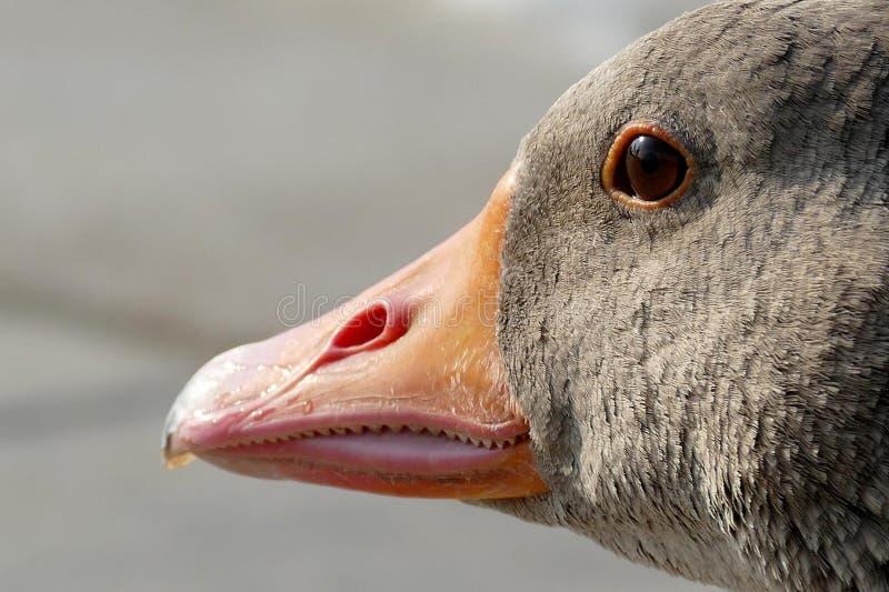 Belfer, ptak, fauna, Wodny ptak obrazy royalty free
