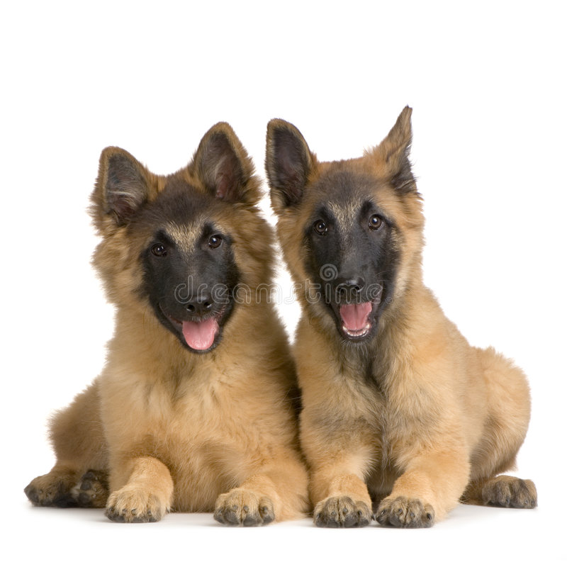Belga Tervuren do filhote de cachorro imagem de stock royalty free