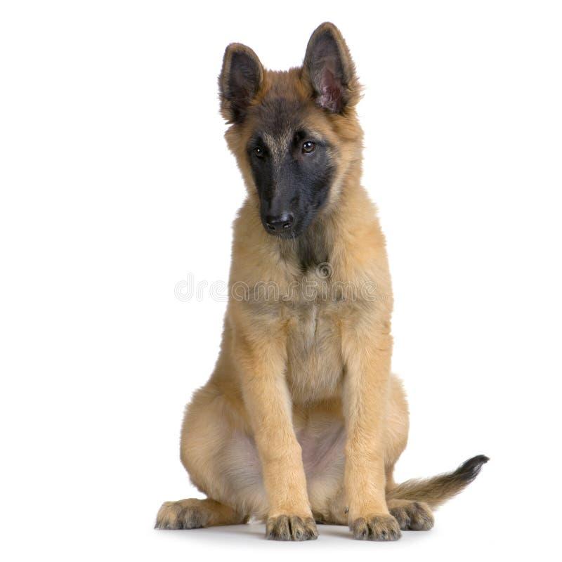 Belga Tervuren do filhote de cachorro foto de stock