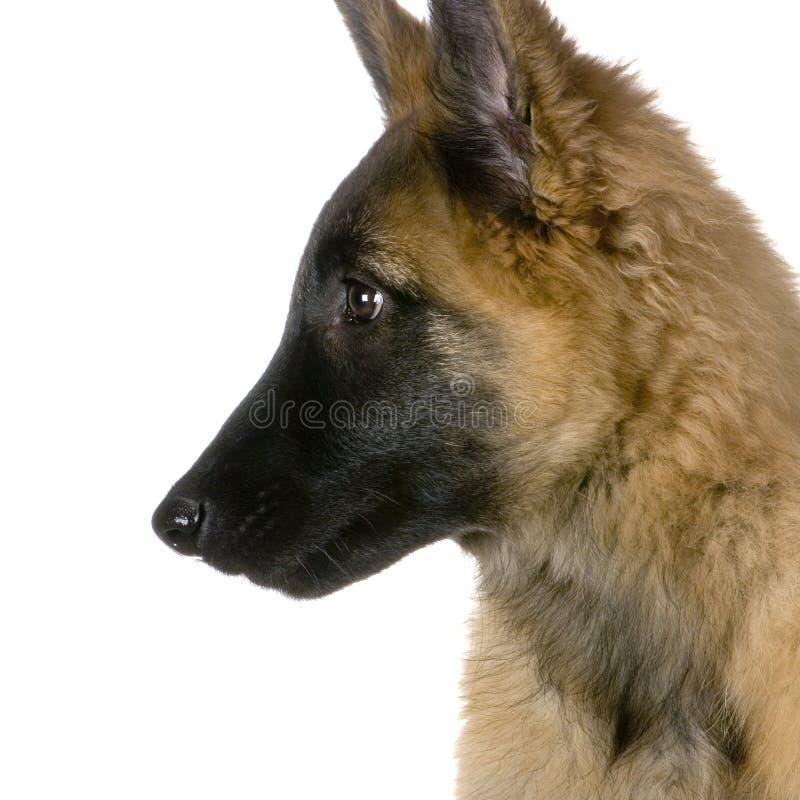 Belga Tervuren do filhote de cachorro fotos de stock royalty free
