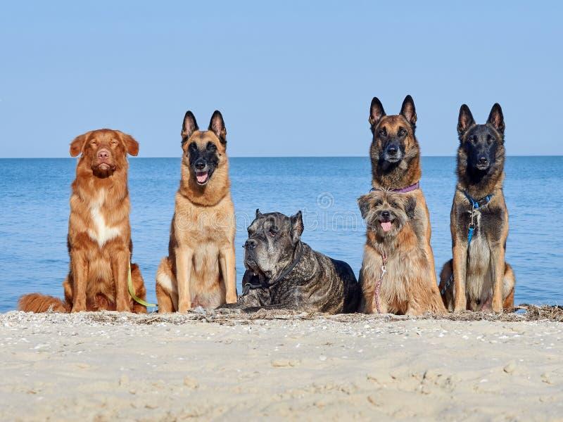 Belgare för tre Malinois, lite Pyrenean herde Dog, Cane Corso royaltyfri fotografi
