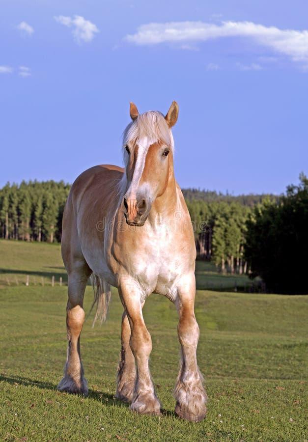 Belgia łyknięcia konia Palomino pozycja przy paśnikiem, obraz royalty free
