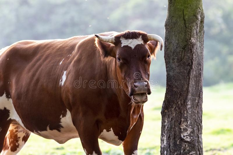 Belgian beef bull. Also known as belgian blue cattle royalty free stock photography