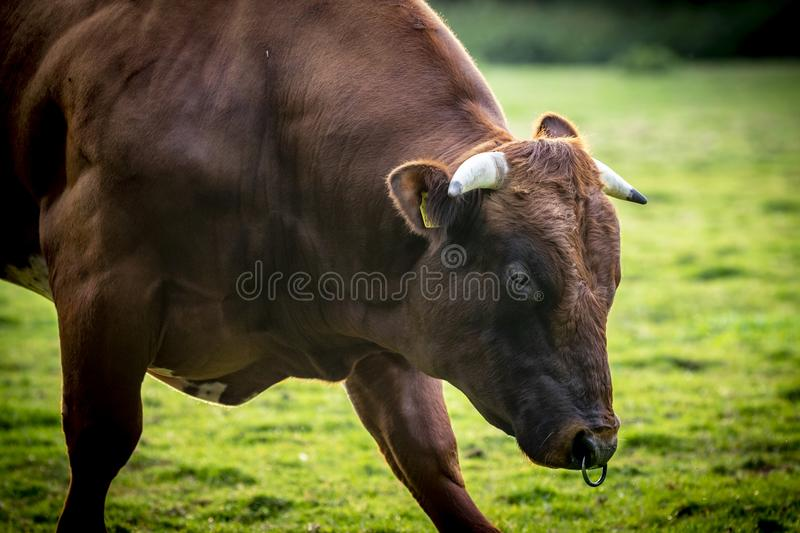 Belgian beef bull. Also known as belgian blue cattle stock photos