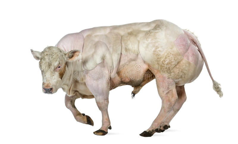Belgian blue bull (8 months old) royalty free stock photography