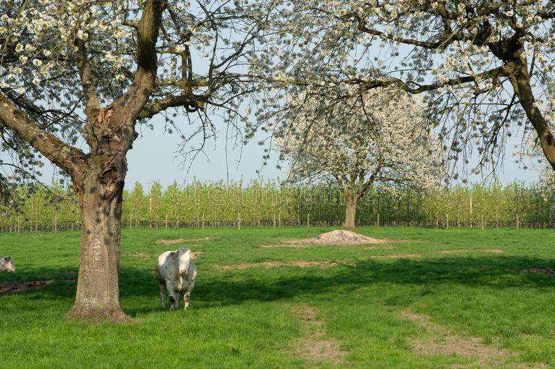 Belgian Blue cow, very big special beef cattle with double-muscling lean on farm in springtime stock images