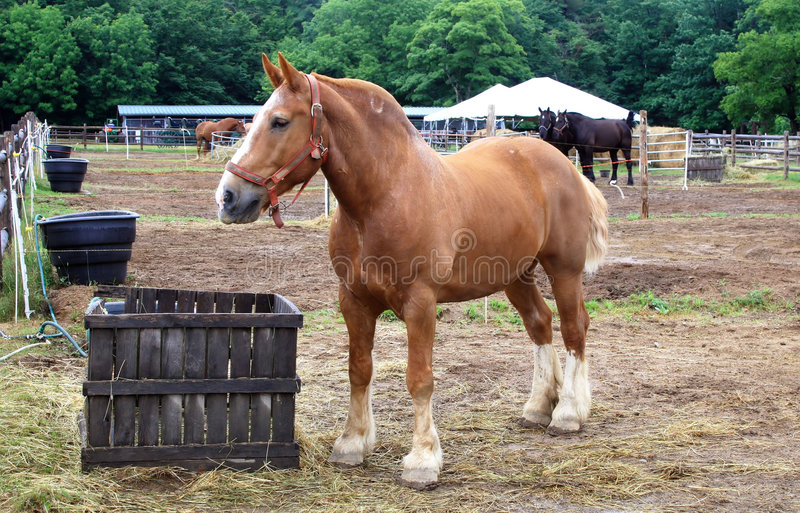 Belgian draft Horse royalty free stock photography