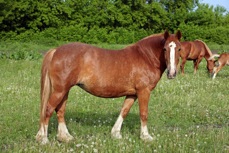 Belgian draft horse in the grass stock images
