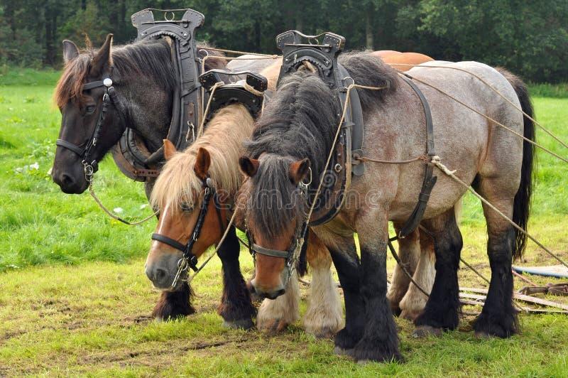 Download Belgian draft horses stock photo. Image of nature, legs - 26989446