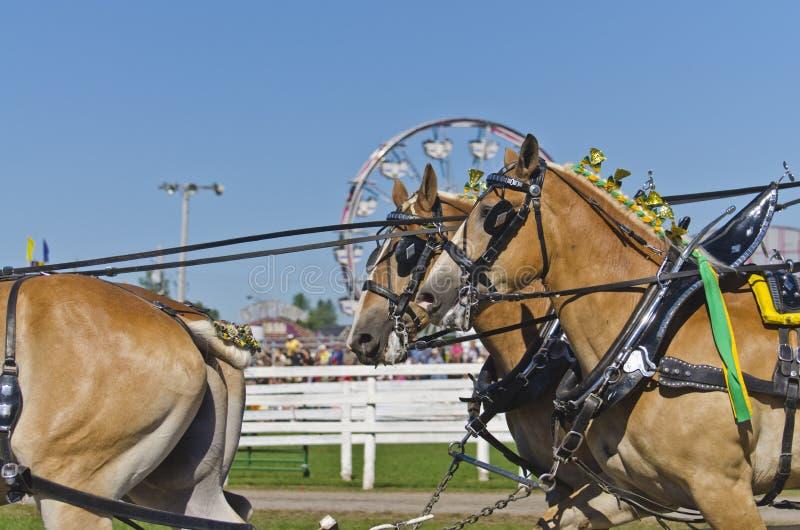 Download Belgian Draft Horses At Country Fair Stock Image - Image: 27711169