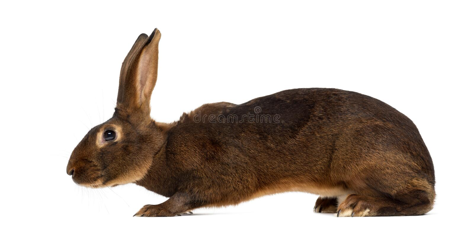 Belgian Hare in front of a white background. Belgian Hare lying in front of a white background stock photo