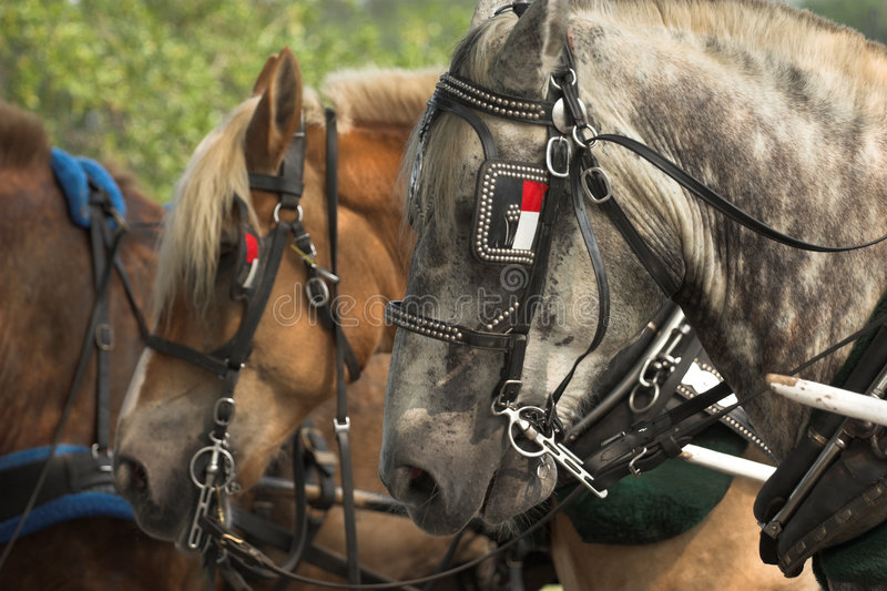 Belgian horses. Belgian draft horses lined up for work royalty free stock images
